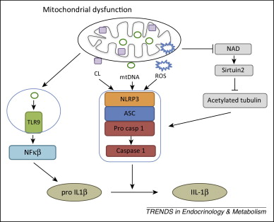 Mitochondrial dysfunction and the inflammatory response