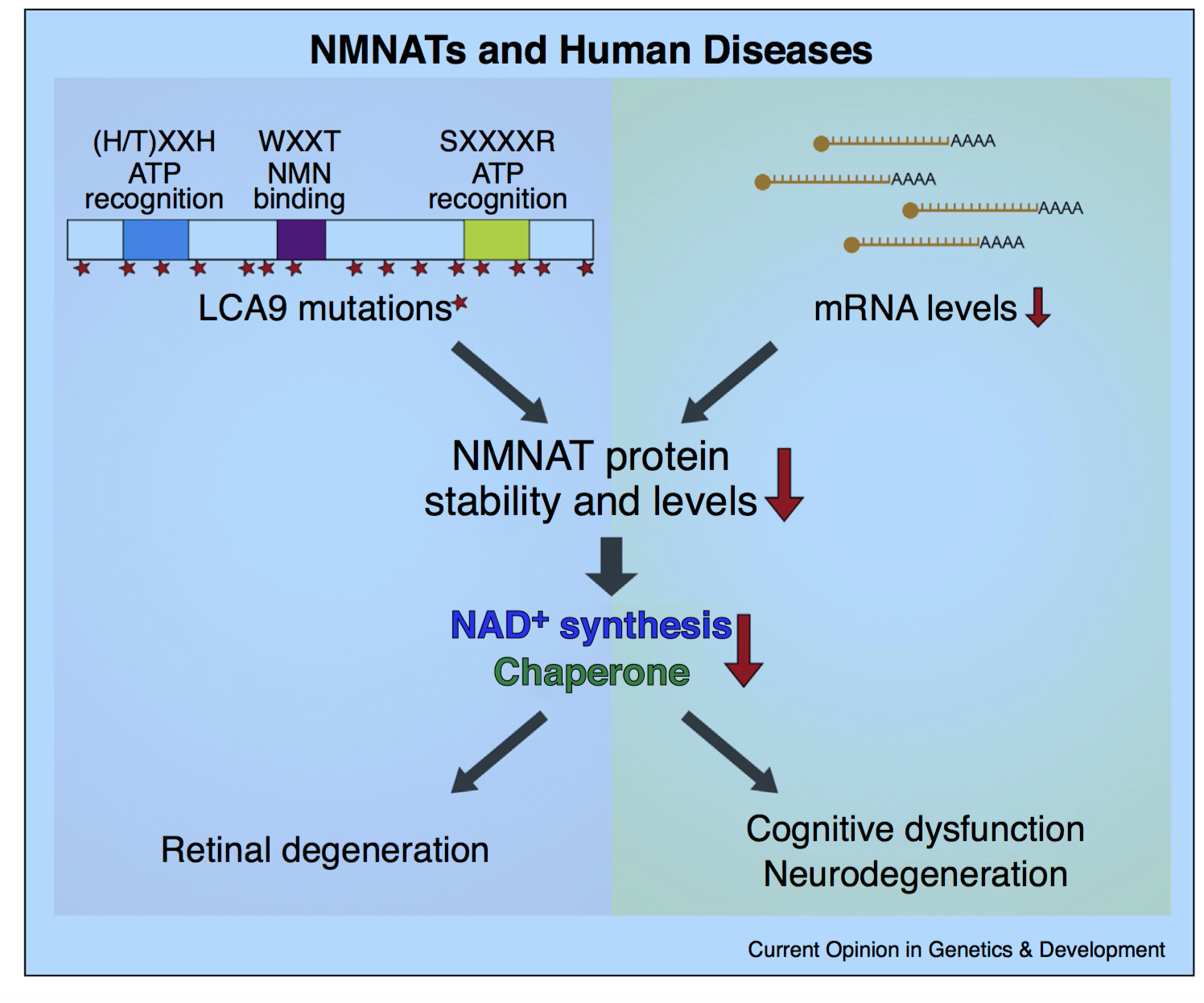 NMNAT: It's an NAD+ synthase, chaperone, AND neuroprotector